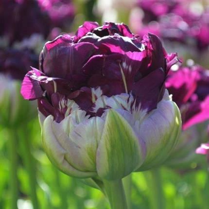 Луковицы тюльпанов Wow Blue, 3 луковицы, фото 2