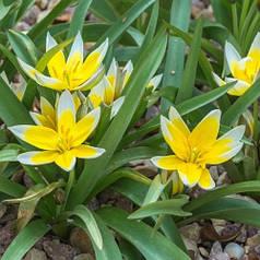 Луковицы тюльпана ботанического Tarda, 5 луковиц