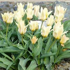 Луковицы тюльпанов Грейга Fur Elise, 3 луковицы
