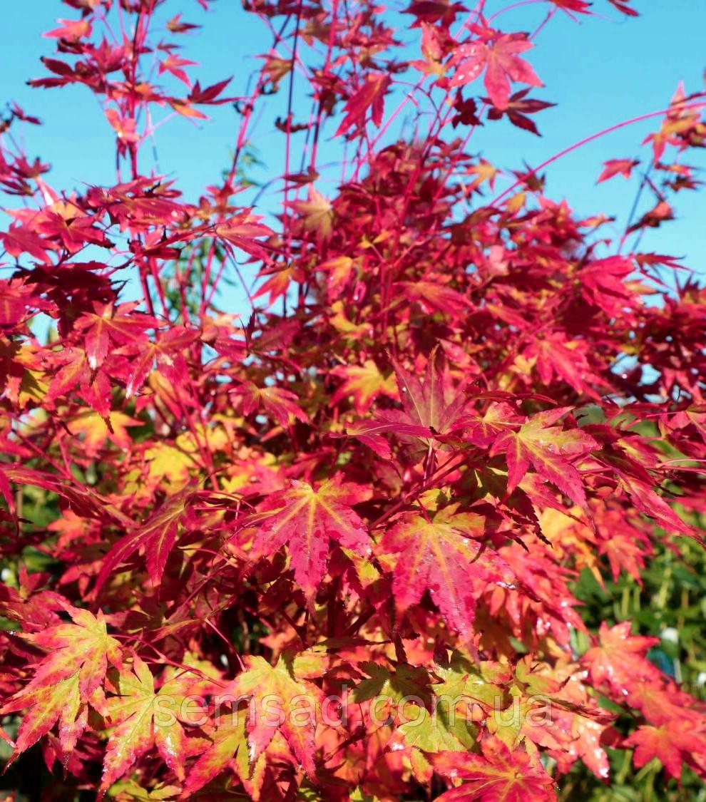Клен пальмолістний Сангокаку \ Acer palmatum Sangokaku (саджанці 2 року 1.5л)