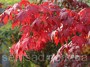 Клен пальмолістний Сангокаку \ Acer palmatum Sangokaku (саджанці 2 року 1.5л), фото 2