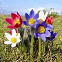 Семена сон-трава Принц Генрих смесь 0,1 г