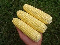 Семена кукурузы Леженд F1, Clause 1 кг | профессиональные, фото 1