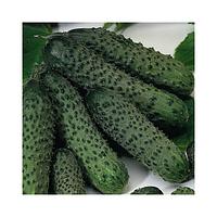 Огірок Пасалимо F1 Syngenta 10 шт (перефасовано Vse-semena), фото 1