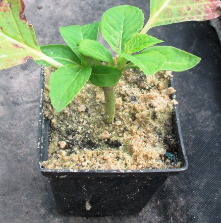 Гортензия садовая голубая. Саженцы в контейнерах 0.5 л, или р9.