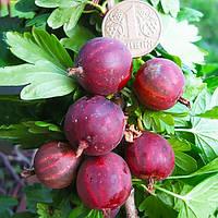 Саженцы Крыжовника Неслуховский - ранний, крупноплодный, десертный