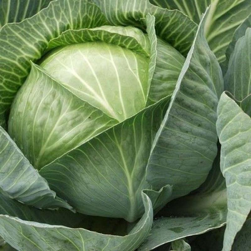 Семена капусты Каунт F1, Clause 2 500 семян   профессиональные