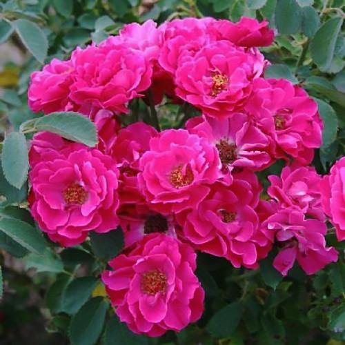 Саджанці бордюрної троянди Луїс Джолієт