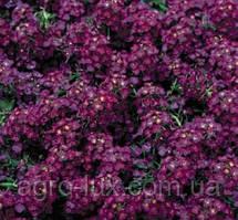 Алиссум (Лобулярия) морский Вандерленд Deep Purple 1000 мультидраже