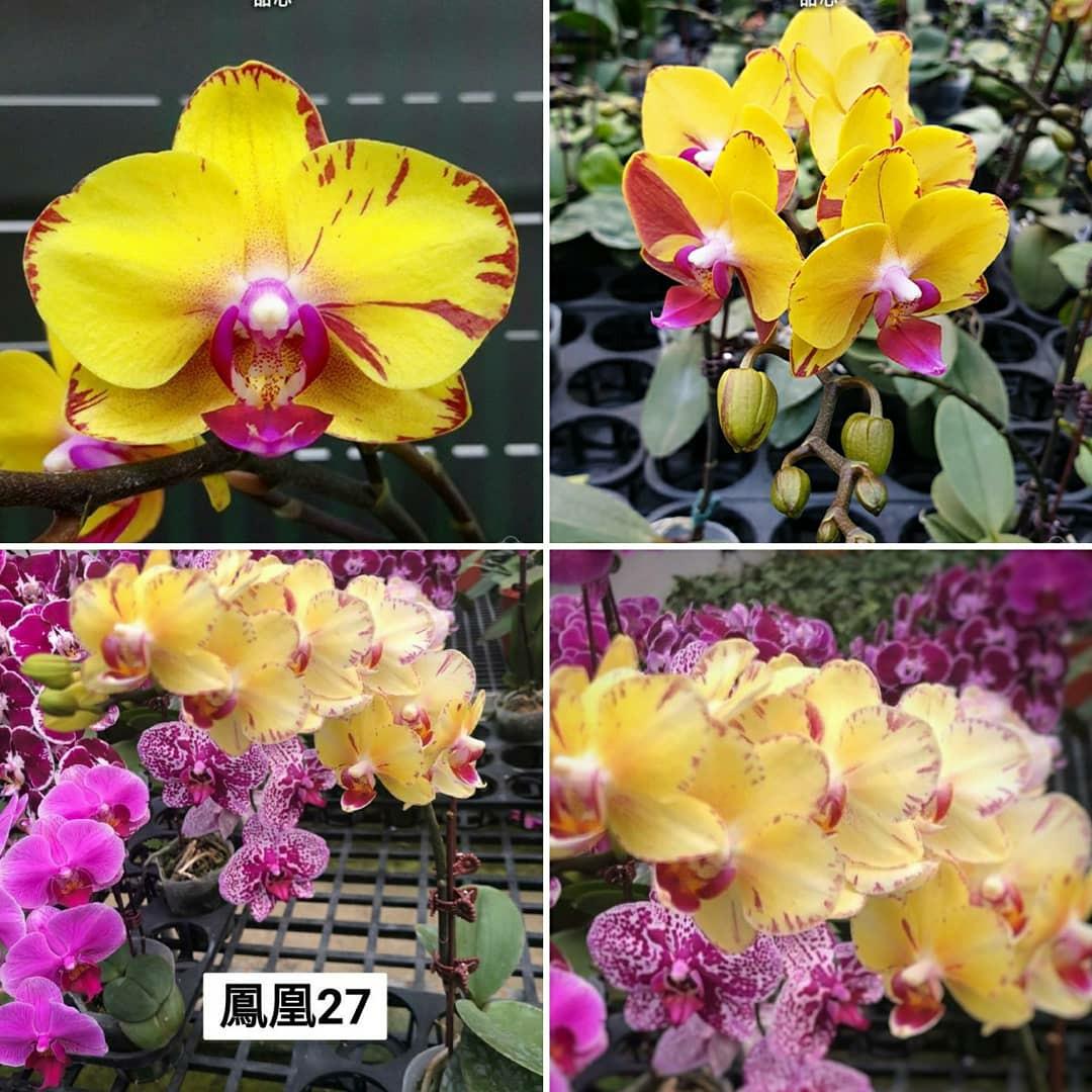 """Орхидея, горшок 2.5"""" без цветов. Phoenix"""