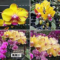 """Орхідея, горщик 2.5"""" без квітів. Phoenix, фото 1"""