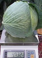 "Семена - Капуста для переработки  "" Центурион F1"" ТМ Клоз (Clause) Франция, 2500 семян"