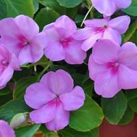 Бальзамин Уоллера Баланс F1 100 семян фиолетовый