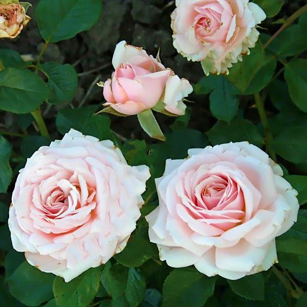 Саджанці чайно-гібридної троянди Барбадос (Rose Barbados)