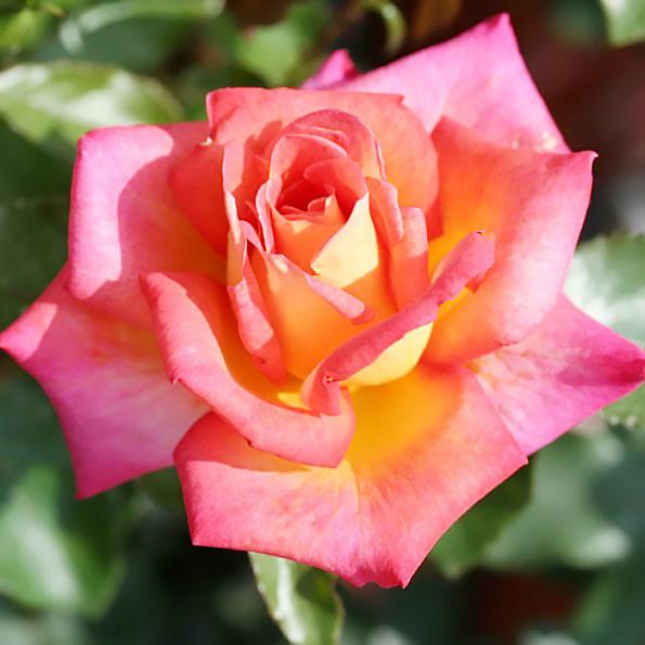 Саженцы чайно-гибридной розы Пикадилли (Rose Piccadilly)