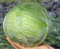 """Семена - Капуста для длительного хранения """" Гард F1"""" ТМ Клоз (Clause) Франция, 10 000 семян"""