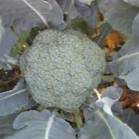 Семена капусты Румба F1, Clause 2 500 семян | профессиональные