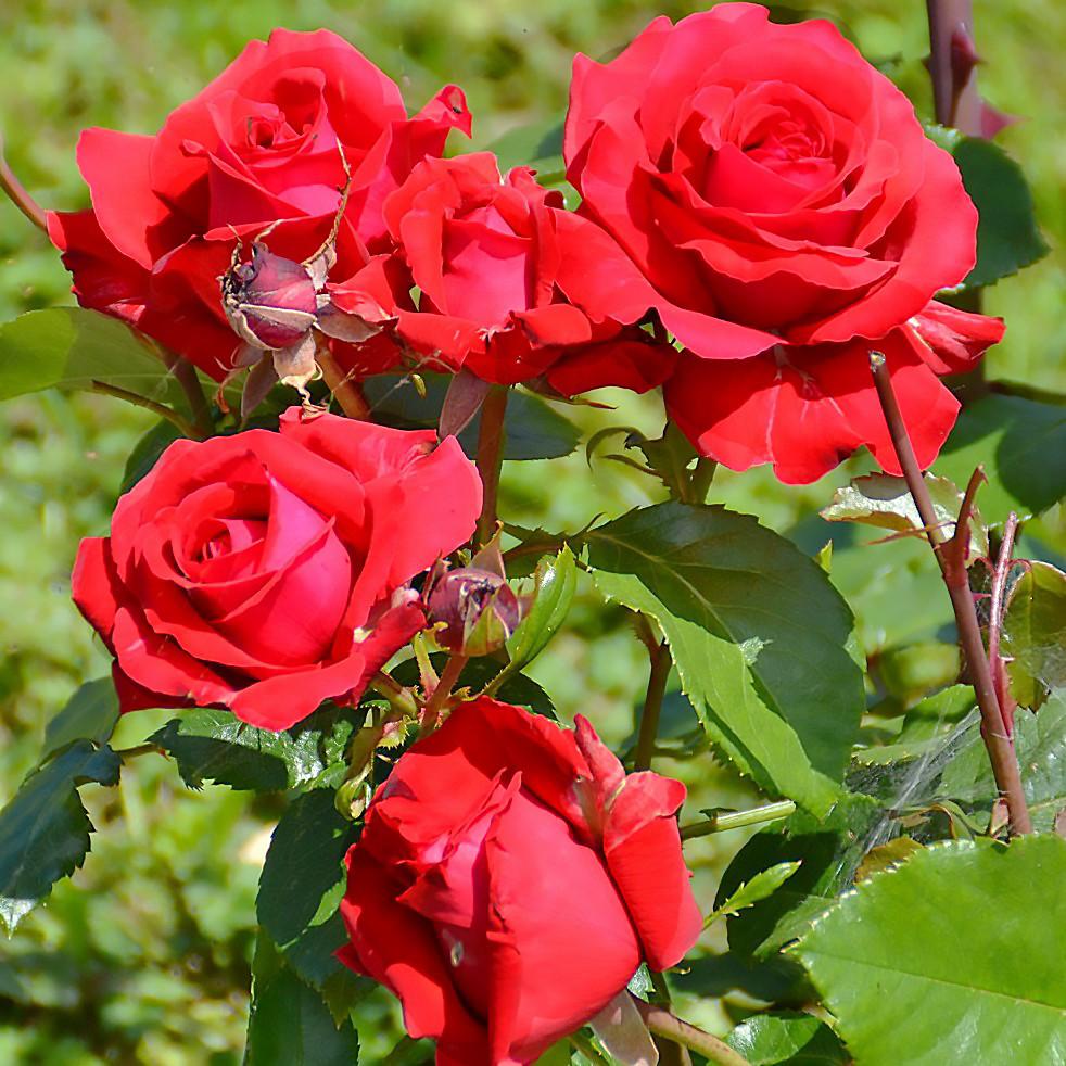 Саджанці чайно-гібридної троянди Марсельєза (Rose La Marseillaise)