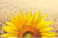 Семена подсолнечника syngenta гибрид Босфора
