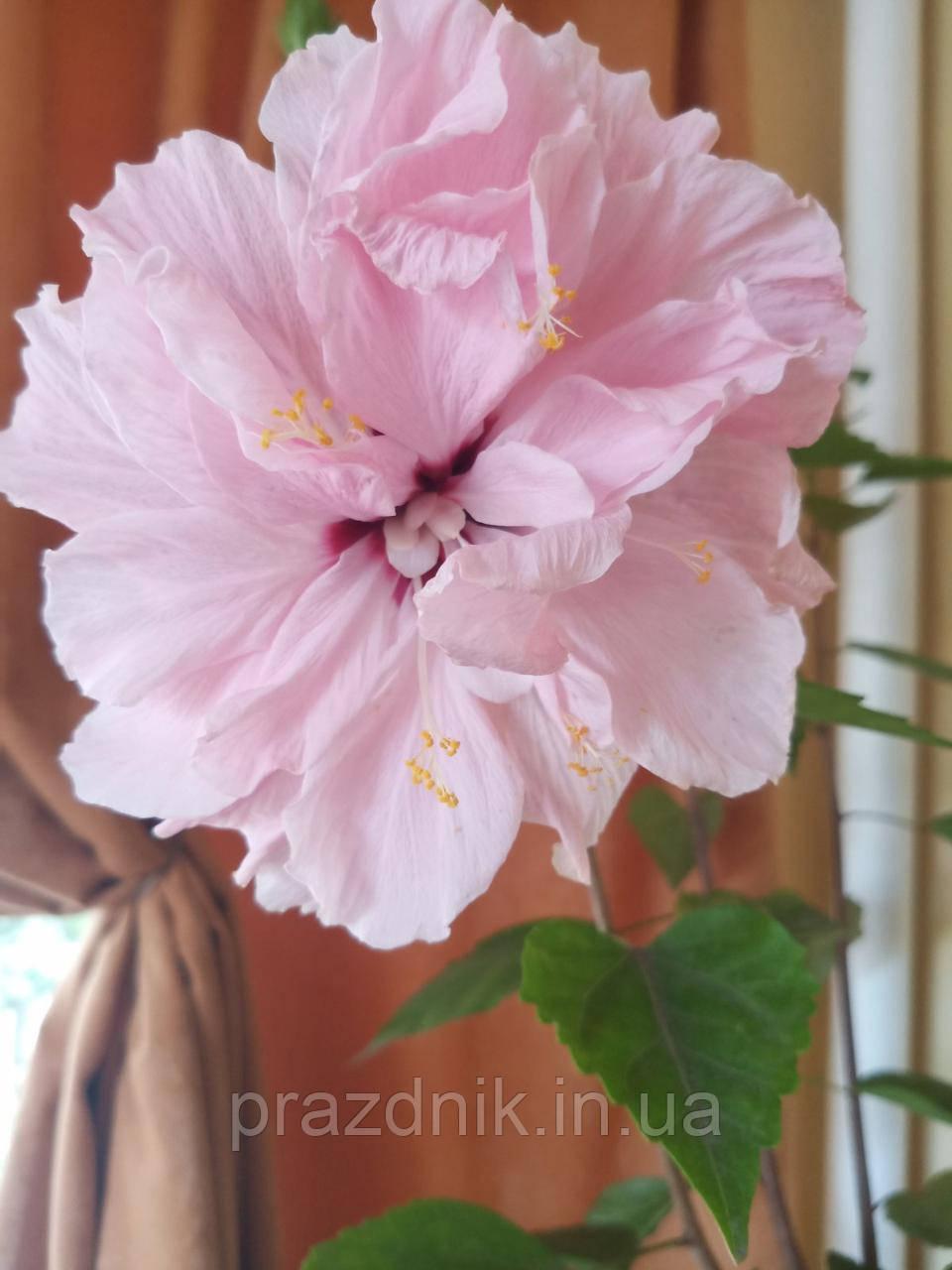 Гібіскус рожевий махровий