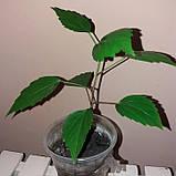 Гібіскус рожевий махровий, фото 2