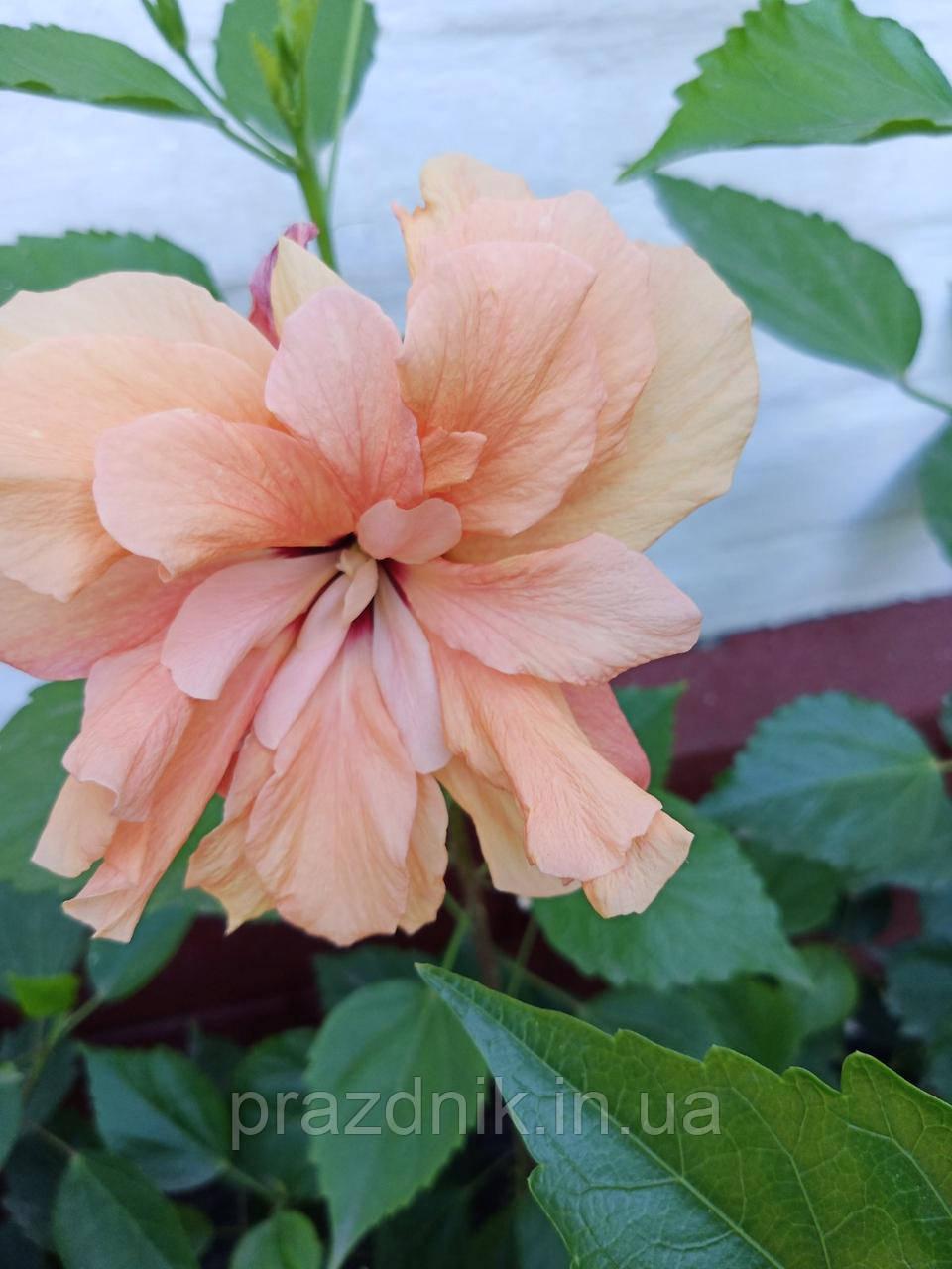 Гібіскус персиковий махровий