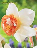 Нарцисс махровый Candy Princess 12/14, фото 2
