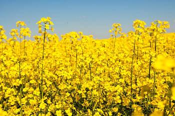 Грим - Грим урожай 2020 года. IMI - 2220 грн
