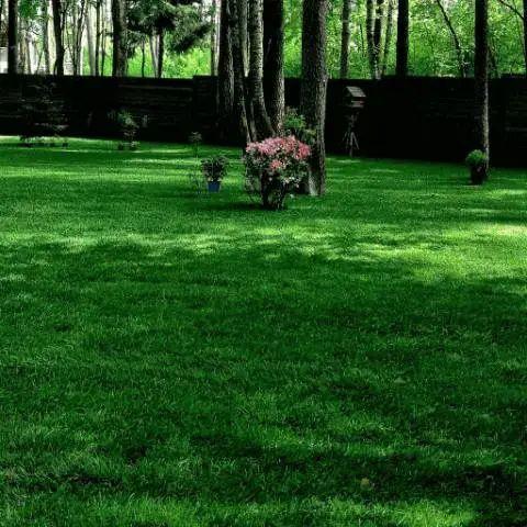 Газонна трава Тіньова (насіння)