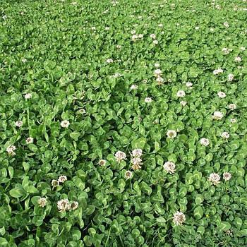 Белый клевер ползучий Ривендел (семена)