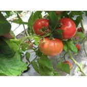 Насіння високорослих томатів