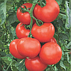 Семена томата Абелус F1 1000 семян Rijk Zwaan