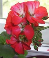Семена Герани садовая Бордюк двухцветная 10 шт.