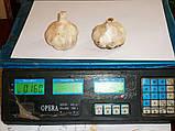Чеснок посадочный Messidrome (Мессидром) 500грм, фото 3