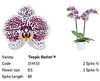 """Підлітки орхідеї. Сорт Wolke, розмір 1.7"""" без квітів"""