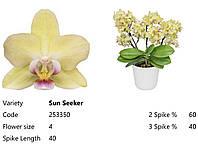 Підлітки орхідеї. Сорт Sun seeker, горщик 1.7 без квітів