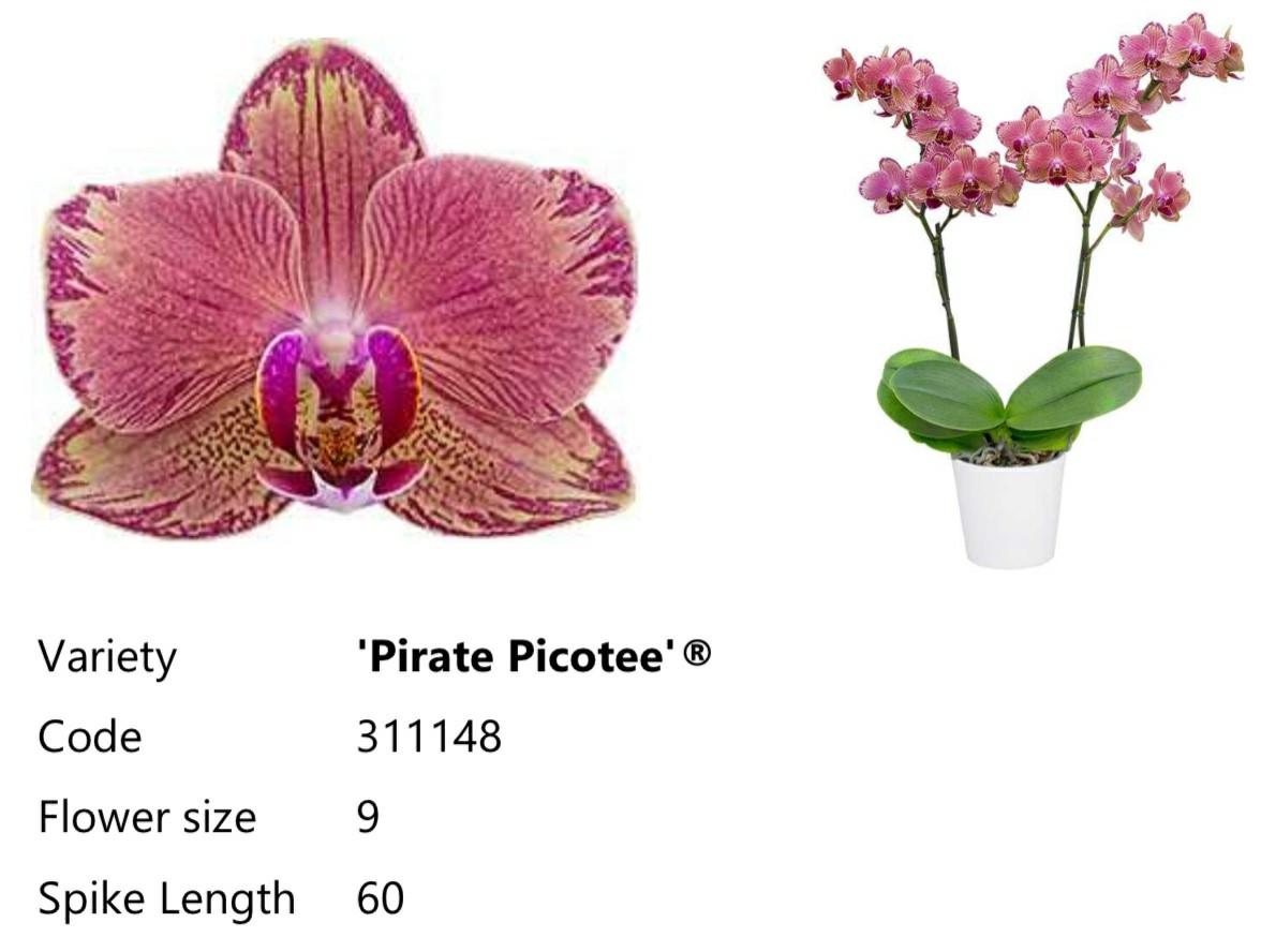 Уценка Подростки орхидеи. Сорт Pirate picotee, горшок 1.7 без цветов