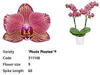 Уцінка Підлітки орхідеї. Сорт Pirate picotee, горщик 1.7 без квітів