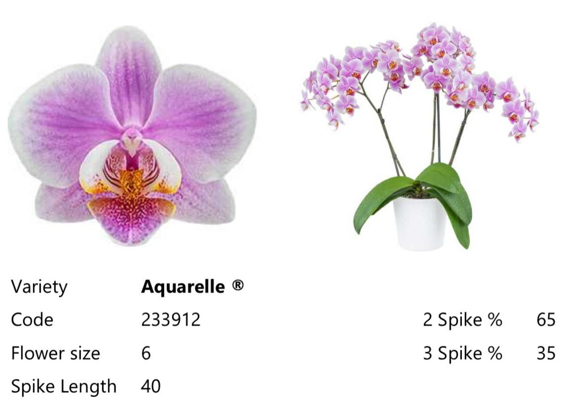 Подростки орхидеи. Сорт Aquarelle, горшок 1.7 без цветов