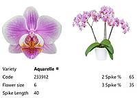 Підлітки орхідеї. Сорт Aquarelle, горщик 1.7 без квітів