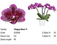 Подростки орхидеи. Сорт Happy Hour, горшок 1.7 без цветов