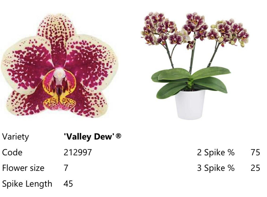 Підлітки орхідеї. Сорт Valley dew, горщик 1.7 без квітів