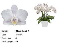 Підлітки орхідеї. Сорт Flour cloud, горщик 1.7 без квітів