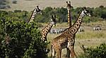 """Экскурсионный тур в Кению """"Программа №1: Кения - Танзания"""" на 11 дней / 10 ночей, фото 4"""