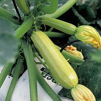 Семена кабачка Серена 500 F1  семян Syngenta