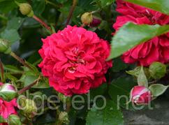 Хеллоу - роза почвокровная. Саженцы роз с ОКС