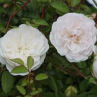 Свани - почвокровная роза