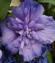"""Гібіскус деревовидний """"Blue Chiffon"""""""