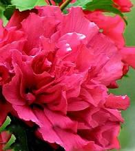 "Гібіскус деревовидний ""French Cabaret Red"""