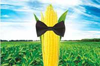 Семена кукурузы Сингента Респект ФАО 240